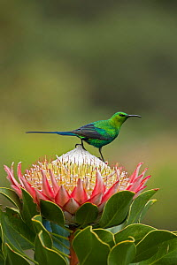 Malachite sunbird (Nectarinia famosa) male perching on King protea (Protea cynaroides) whilst foraging for nectar. Pearl Mountain Reserve, South Africa, August. - Heather Angel