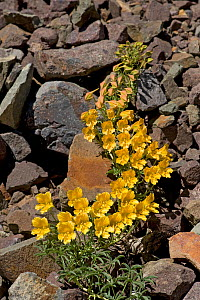 Wreath nasturtium (Tropaeolum polyphyllum) flowering amongst rocks. Paso Vergara, Chile. December. - Heather Angel