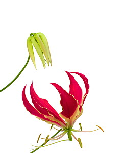 Glory lily (Gloriosa superba) bud and flower with reflexed petals and trifid stigma. Pollinated by butterflies. National flower of Zimbabwe.  -  Heather Angel