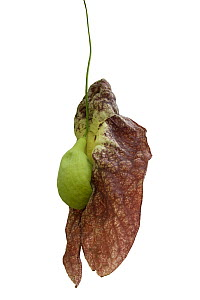 Brazilian Dutchman's pipe flower (Aristolochia gigantea) with green inflated pouch. Flower smells of carrion to attract fly pollinators. Cultivated in glasshouse, Surrey, England, UK. Native to Br... - Heather Angel