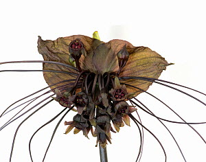 Cat's whiskers / Black bat flower (Tacca chantrieri). Pollinated by flies. Cultivated in glasshouse, Surrey, England, UK. Native to Southeast Asia. - Heather Angel
