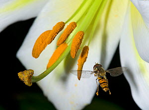 Marmalade hoverfly (Episyrphus balteatus) in flight with pollen on feet, foraging on Sargents lily (Lilium sargentiae). Deposited pollen visible on stigma. Cultivated in garden, Surrey, England, UK. J... - Heather Angel