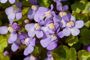 Ivy leaved toadflax (Cymbalaria muralis) flowers with orange nectar guides. Surrey, England, UK. April. - Heather Angel