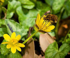 Bee fly (Bombylius major) foraging on Lesser celandine (Ficaria verna) on roadside verge. Pollen is picked up on long proboscis and legs when touching anthers. Surrey, England, UK. April.  -  Heather Angel