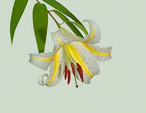 Gold band lily (Lilium auratum) flower. Yellow nectar guides lead pollinators to nectaries. Pollinators are swallowtail butterflies and hawkmoths. Cultivated in garden, Surrey, England, UK. Native to...  -  Heather Angel