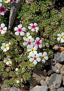 Rock jasmine (Androsace sericea) flowers. Colour of corona ring indicates age and nectar content of flower. Mountains of Heaven / Tian Shan, Kazakhstan. June. - Heather Angel