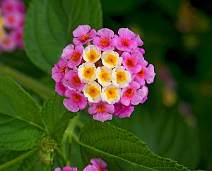 Wild sage (Lantana camara), flowers turn pink following pollination. Native to tropical America. Invasive species, Tanzania.  -  Heather Angel