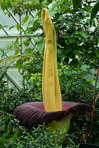 Titan arum (Amorphophallus titanum) at Kew Gardens, London, UK. Emits odour at night to attract carrion beetle and flesh fly pollinators. Native to Sumatra, Indonesia. - Heather Angel