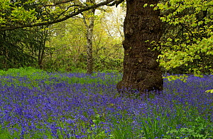 Bluebell (Hyacinthoides non-scripta) carpeting Conservation Area, Kew Gardens, London, UK. May.  -  Heather Angel