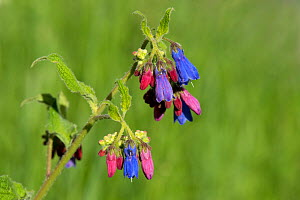 Prickly comfrey (Symphytum asperum), flowers open red and change to blue. Caucasus, Russia. June. - Heather Angel