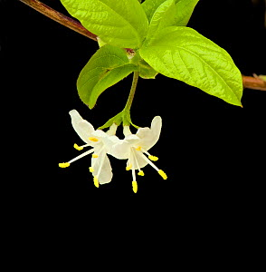 Sweet breath of spring (Lonicera fragrantissima) in garden, Surrey, England, UK. Native to China. - Heather Angel