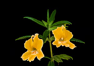 Orange bush monkeyflower (Mimulus aurantiacus). Native to California and Oregon, USA. Focus stacked. - Heather Angel