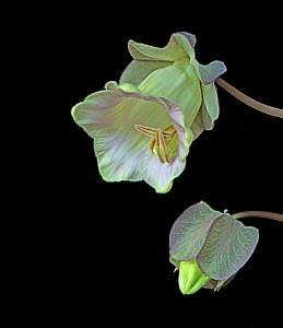 Cup and saucer plant (Cobaea scandens), bud and opening flower. Cultivated plant. Focused stacked.  -  Heather Angel