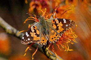 Painted lady butterfly (Vanessa cardui) nectaring on Witch hazel (Hamamelis x intermedia 'Jelena'). Surrey, England, UK. February. - Heather Angel