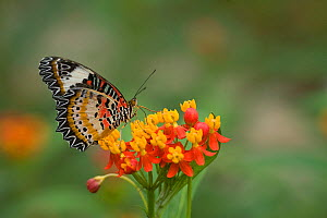 Leopard lacewing (Cethosia cyane) nectaring on Tropical milkweed / Bloodflower (Asclepias curassavica). Yunnan, China. - Heather Angel