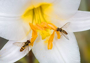 Marmalade hoverflies (Episyrphus balteatus), two feeding on pollen of Dwarf formosa lily (Lilium formosanum var. pricei). Surrey, England, UK. July.  -  Heather Angel