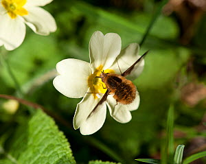 Common bee fly (Bombylius major) feeding on Primrose (Primula vulgaris). March.  -  Heather Angel