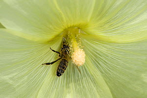 Honey bee (Apis mellifera) nectaring on Russian hollyhock (Alcea rugosa), pollen on back. Surrey, England, UK. August.  -  Heather Angel