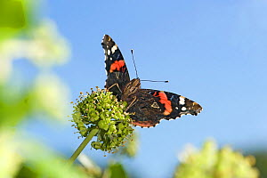 Red admiral (Vanessa atalanta) nectaring on Ivy (Hedera helix). September.  -  Heather Angel