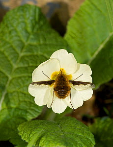 Large bee fly (Bombylius major) feeding on Primrose (Primula vulgaris). England, UK. March. - Heather Angel