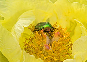 Rose chafer (Cetonia aurata) feeding on Caucasian peony (Paeonia mlokosewitschii) pollen. Surrey, England, UK. May. - Heather Angel