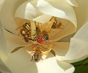 Honey bees (Apis mellifera) tearing stamens to feed on pollen of Southern magnolia (Magnolia grandiflora). Surrey, England, UK. July. - Heather Angel