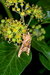 Angle shades moth (Phlogophora meticulosa) nectaring on Ivy (Hedera helix) at night. Surrey, England, UK. October. - Heather Angel