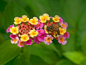 Honey bee (Apis mellifera) nectaring on freshly opened yellow Lantana (Lantana camara) flowers. Flowers turn pink when nectar no longer provided. In garden, Tanzania. Native to tropical Americas.  -  Heather Angel
