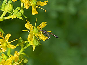 Parasitic wasp (Gasteruption assectator) nectaring on Common rue (Ruta graveolens). Surrey, England, UK. July. - Heather Angel