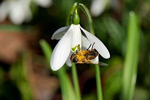 Drone fly (Eristalis tenax) nectaring on Snowdrop (Galanthus nivalis), pollen on body. Surrey, England, UK. February. - Heather Angel