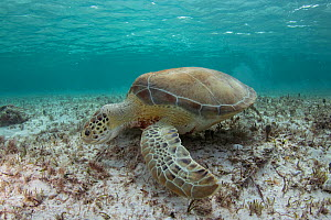 Green sea turtle (Chelonia mydas) grazing on sea floor, the Bahamas.  -  Eladio Fernandez