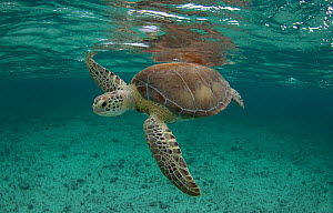 Green sea turtle (Chelonia mydas) comes up for air in the waters off, the Bahamas.  -  Eladio Fernandez