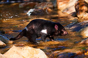 Tasmanian devil (Sarcophilus harrisii) male crossing water. Beauval Zoo Parc, France. Captive.  -  Eric Baccega