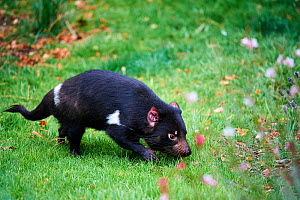 Tasmanian devil (Sarcophilus harrisii) male sniffing ground. Beauval Zoo Parc, France. Captive.  -  Eric Baccega