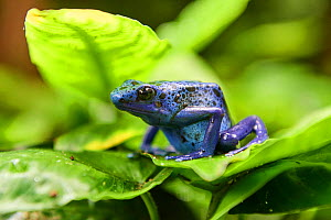 Blue poison dart frog (Dendrobates tinctorius) on leaf. Beauval Zoo Parc, France. Captive. - Eric Baccega