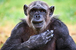 Chimpanzee (Pan troglodytes) female aged 37 years, portrait with hand on heart. Beauval Zoo Parc, France. Captive. - Eric Baccega