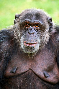 Chimpanzee (Pan troglodytes) female aged 41 years, portrait. Beauval Zoo Parc, France. Captive. - Eric Baccega
