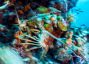 Caribbean spiny lobster (Panulirus argus), two in territorial fight in coral reef. Exuma Cays Land and Sea Park, marine protected area, Bahamas. - Shane Gross