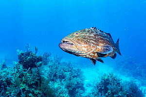 Black grouper (Mycteroperca bonaci) above sea floor. Exuma Cays Land and Sea Park, marine protected area, Bahamas.  -  Shane Gross