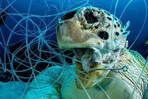 Green sea turtle (Chelonia mydas), drowned, hooked and tangled in fishing line as bycatch. Bahamas.  -  Shane Gross