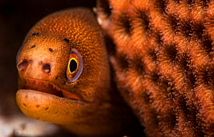 Goldentail moray eel (Gymnothorax miliaris) with mouth open, close up. Eleuthera, Bahamas.  -  Shane Gross