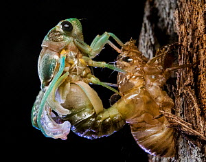 Superb green cicada (Neotibicen superbus) adult emerging from exuvia. Harbour Island, Bahamas.  -  Shane Gross