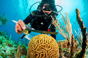 Marine biologist measuring Brain coral (Colpophyllia natans), ongoing program to monitor and restore coral reefs in The Bahamas. Eleuthera, Bahamas. 2017.  -  Shane Gross