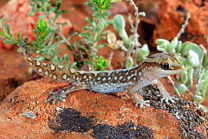 Ranges stone gecko (Diplodactylus furcosus) male on rock. Waukaringa, South Australia. August. - Robert Valentic