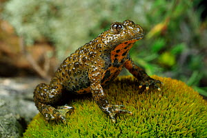 Yellow-bellied toad (Bombina variegata) sitting on moss. Passani, Dadia Forest, Evros, East Macedonia and Thrace, Greece.  -  Robert Valentic