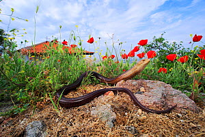 European legless lizard (Pseudopus apodus) on rock amongst Poppy (Papaver rhoeas) flowers. Near Evros River, Loutros, Evros, East Macedonia and Thrace, Greece. - Robert Valentic