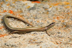 European snake-eyed skink (Ablepharus kitaibellii) basking on stone in drystone wall. Milos Island, Cyclades, Greece. - Robert Valentic