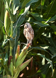 Burrowing owl (Athene cunicularia) curious juvenile cocking head at 90 degrees. Sheltering in shade of Corn / Maize crop. Marana, Arizona, USA.  -  Jack Dykinga