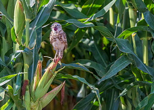 Burrowing owl (Athene cunicularia) juvenile aged 3 months with open mouth. Sheltering in shade of Corn / Maize crop. Marana, Arizona, USA.  -  Jack Dykinga