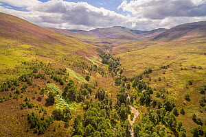 Regenerating woodland growing alongside Allt a' Mharcaidh in the mountains of the Cairngorms National Park, Scotland. July.  -  SCOTLAND: The Big Picture